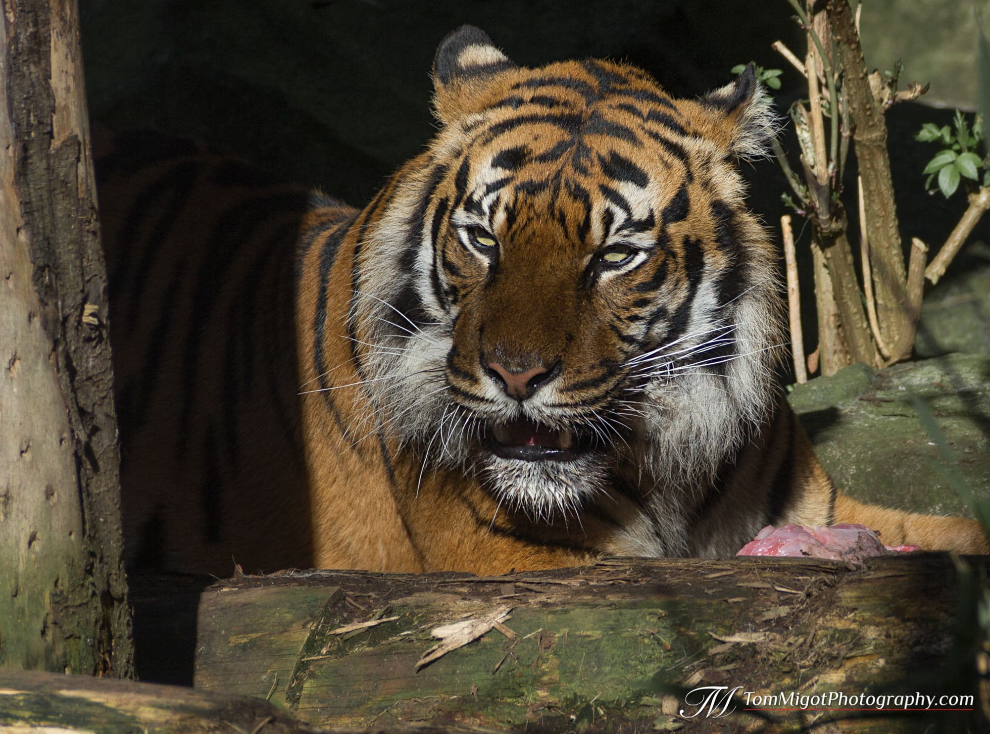 The Sumatran Tiger at the Edinburgh Zoo