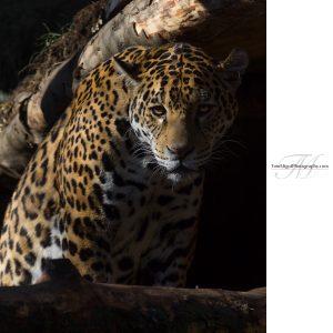 Do you dare coming closer? A leopard in Edinburgh Zoo