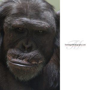 Do you feel me? Chimp at the Edinburgh zoo